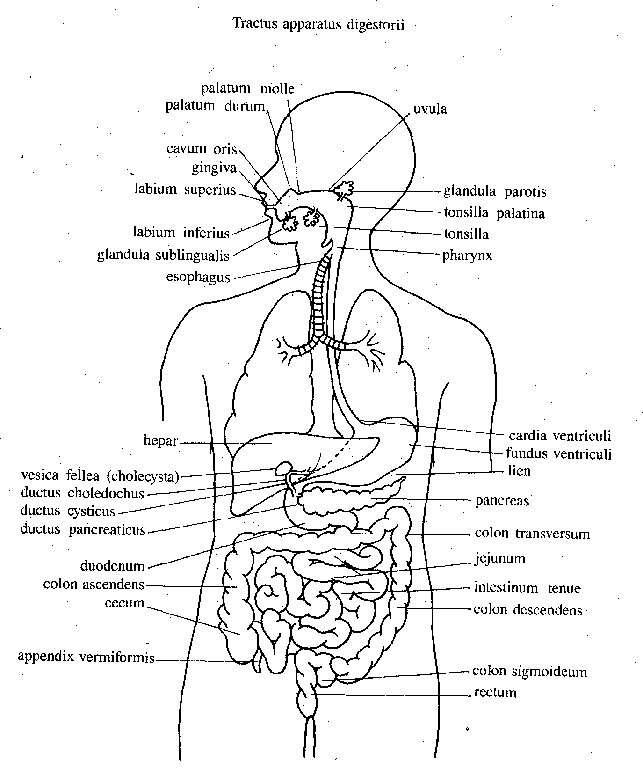 Snap Encantador Diagrama De Partes Del Cuerpo Humano Para Los Niños ...